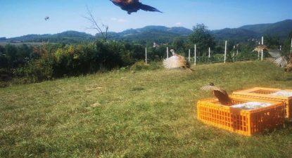 U izdvojene revire pušteno 200 jedinki fazana